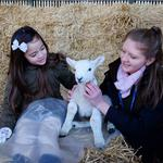 Bishop Burton's popular Lambing Sunday is back!
