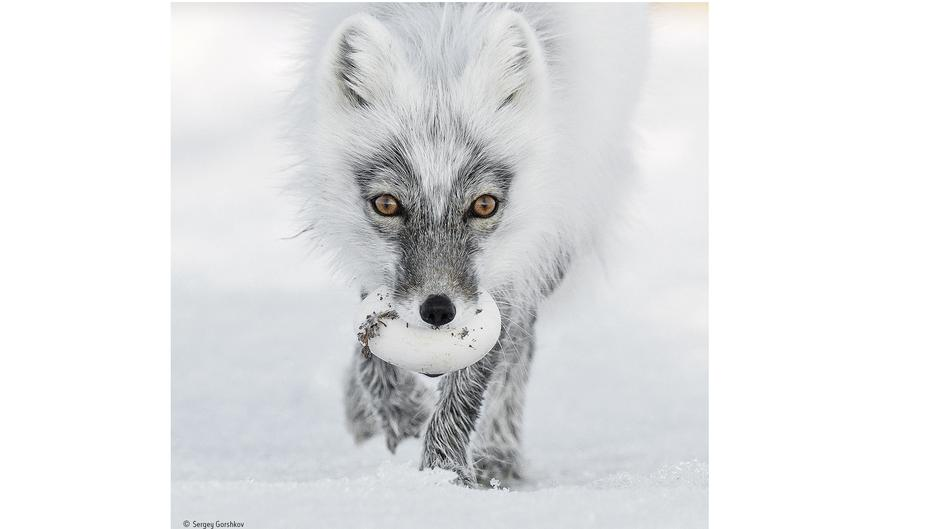Arctic treasure © Sergey Gorshkov   Wildlife Photographer of the Year (1)